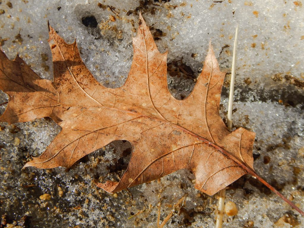 brown red oak leaf laying on the ground that is covered with dirty melting snow