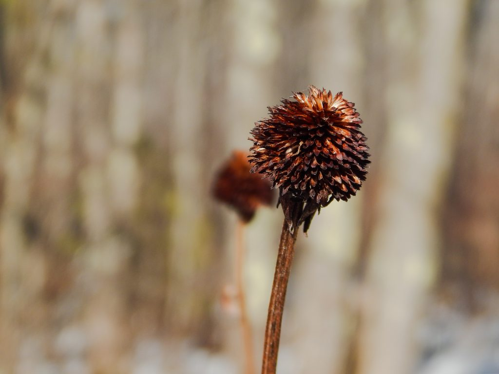 close up of a seed head in the winter in the color burgundy