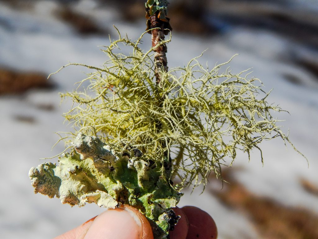 a hand holding up a stick containing two species of lichen in the color green starting the color scavenger hunt