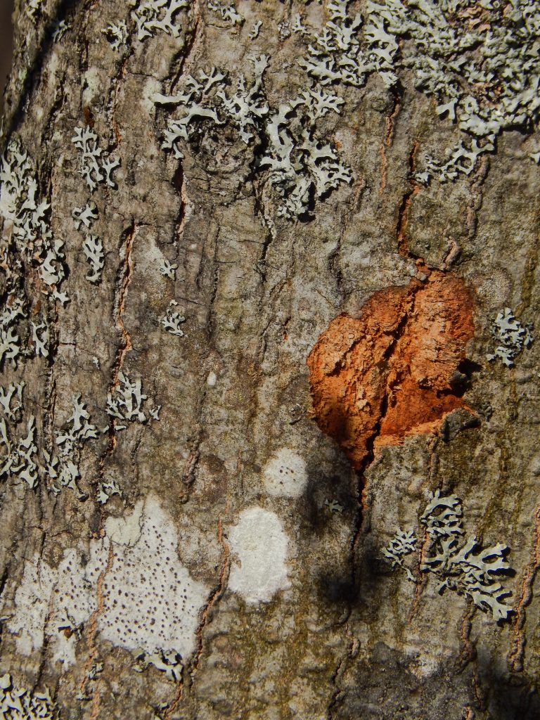 one swamp maple used for color scavenger hunt contains light grey lichen and an orange spot on the bark