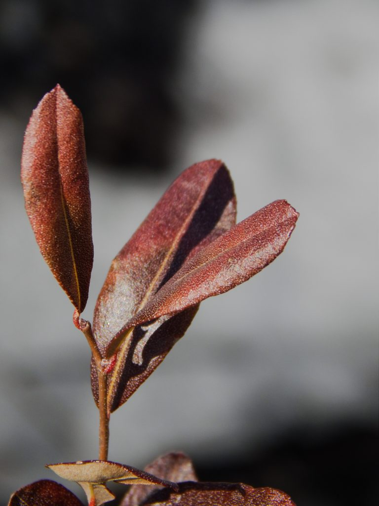 a branch containing three upright leaves in shades of red, burgundy, and orange