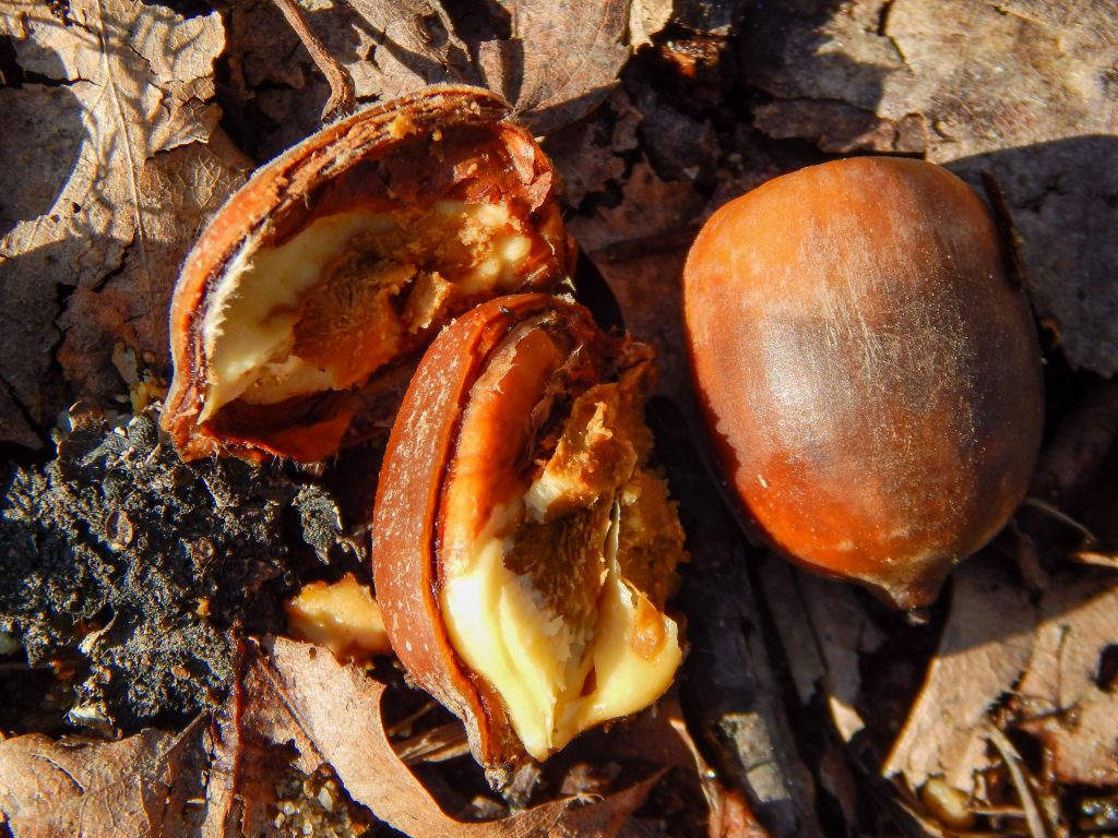 three acorns on the ground resting on top of leaves and dirt. Two acorns are opened with the inside of them showing.