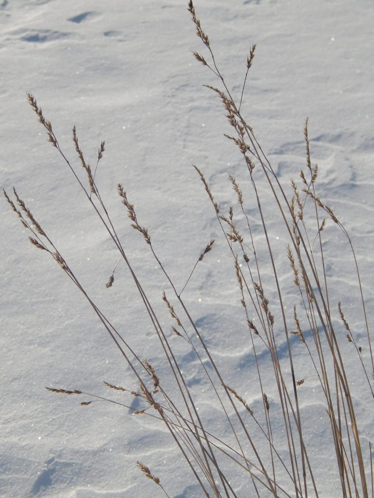 dried grasses with seeds standing with snow in the background