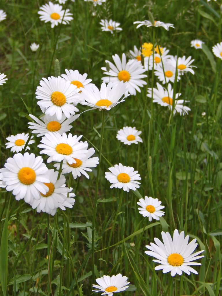 ox eyed daisies fully opened with green grass