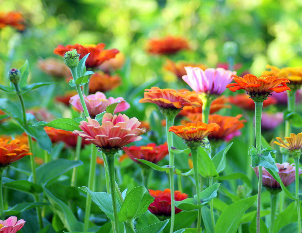 zinnia flowers growing and blooming with green in the background