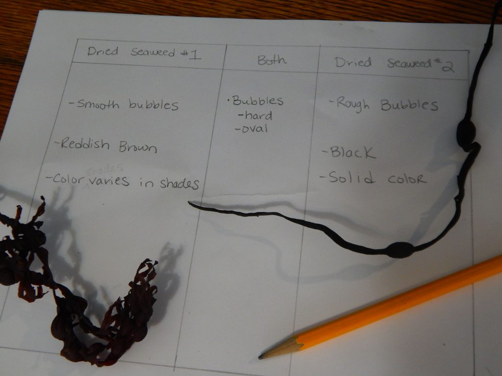 compare and contrast of two seaweeds on paper with pencil and seaweed samples