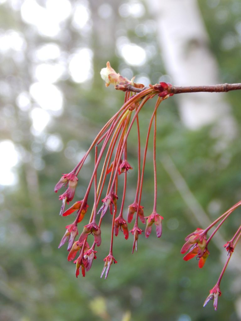 tiny samara winged seeds forming on a red maple tree branch in spring