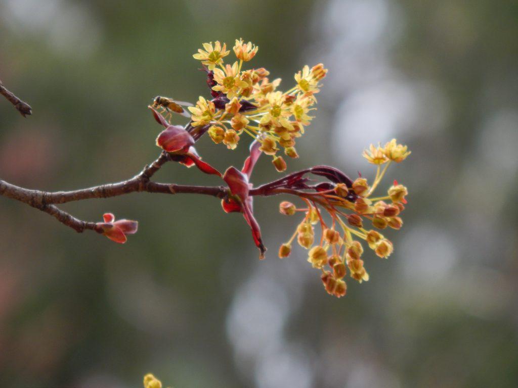 yellow chrimson king maple tree blooms