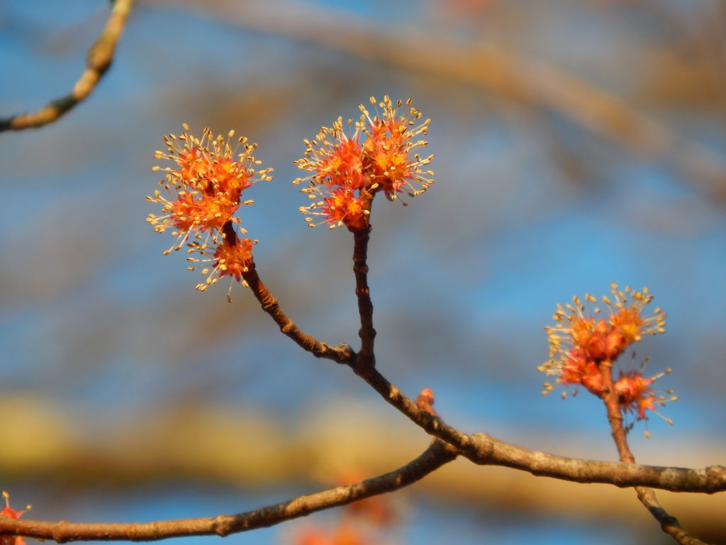 open male red maple tree flowers with yellow pollen on a branch