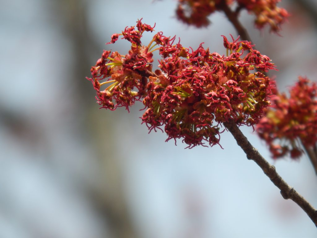 clusters of red female red maple tree blooms up close