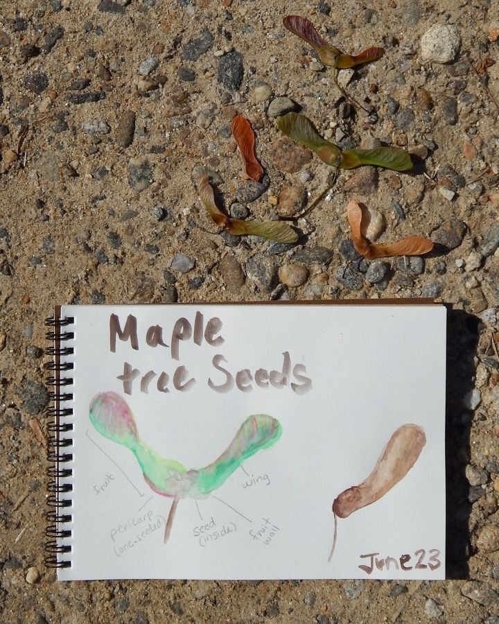 nature journal life cycle of a maple tree outside