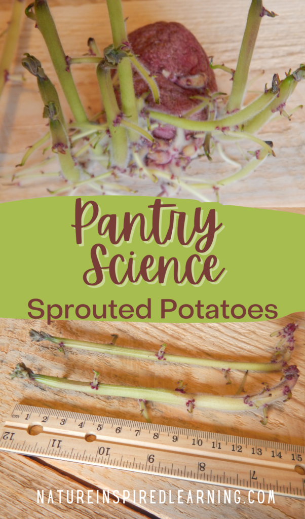 text pantry science sprouted potatoes nature inspired learning with a ruler and two pictures of sprouted potatoes from pantry