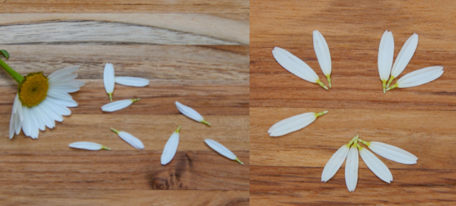 close up of a daisy with the petals removed for a classification activity number groups