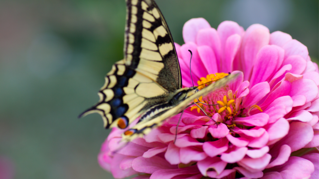 yellow and black butterfly on a pink zinnia with blurred background