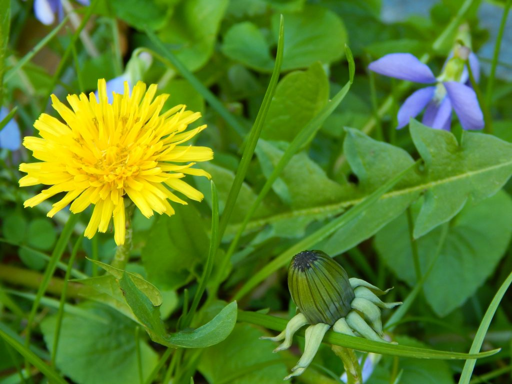 yellow blooming dandelion with bud and wild violets in background found in the lawn in spring garden new england