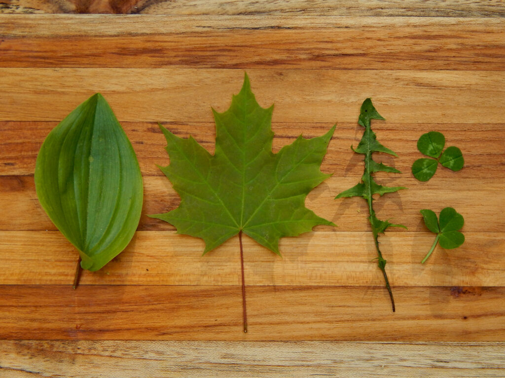5 green leaves on a classified by shape on wooden cutting board