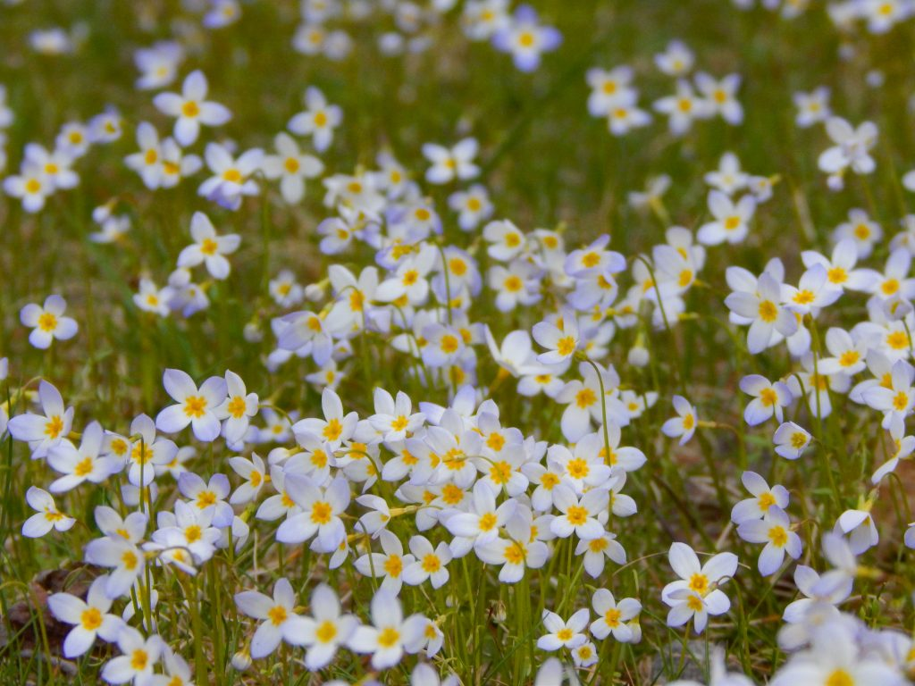 cluster of spring wildflower bluets in new england