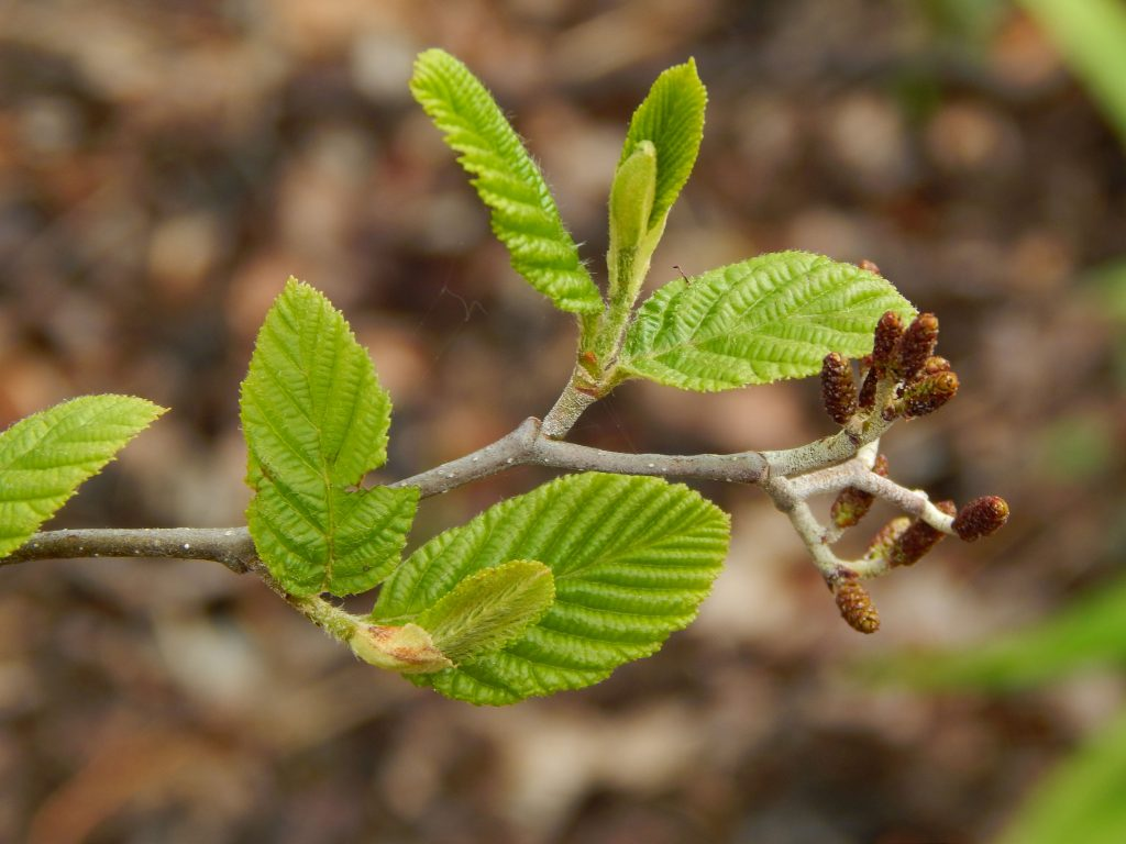 emerging green leaves on a branch with blurred brown leaves in background