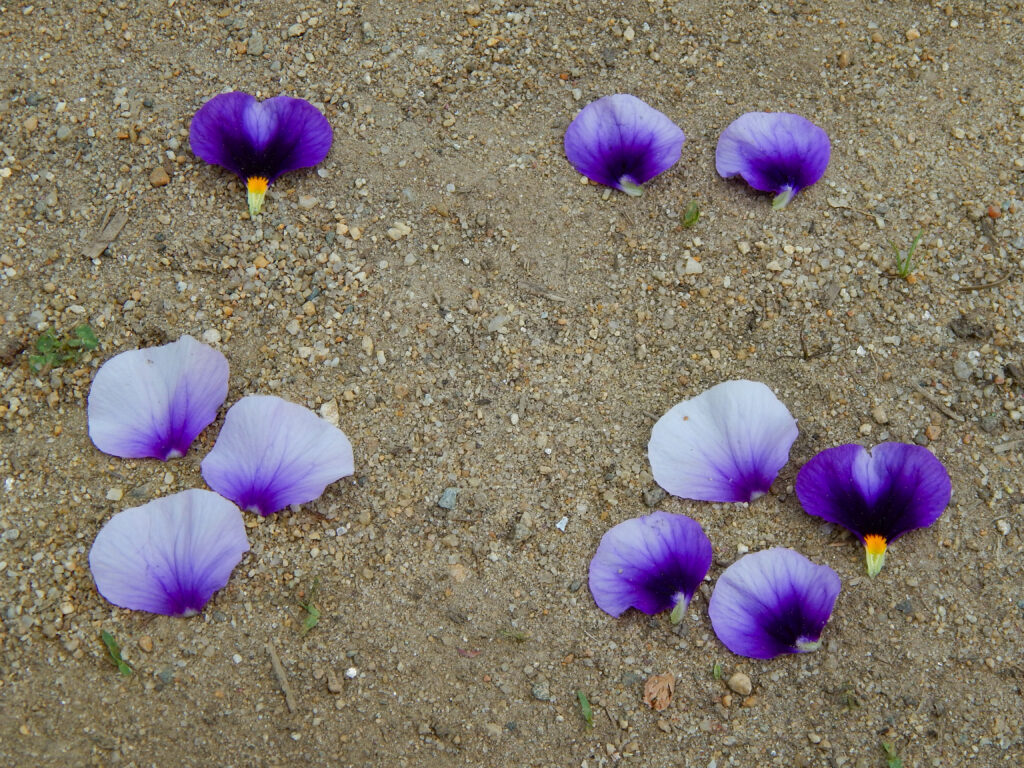 purple and white flower petals classified by amount 1, 2, 3, and 4 petals sorted on sand classification activities for preschoolers