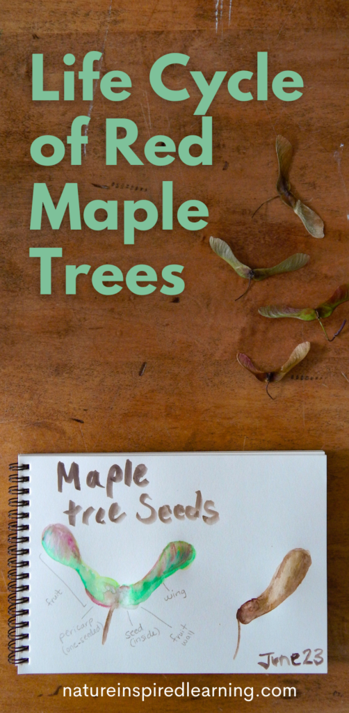 life cycle of red maple trees pin