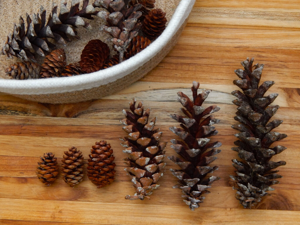 sorting bin with a collection of pine cones with pine cones arranged in order by size on a wooden board smallest to largest