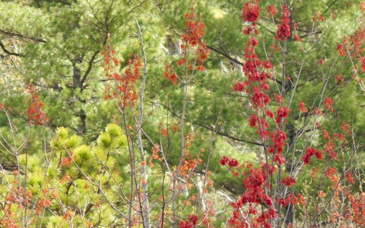 red maple tree blooms with evergreens in the background in the spring garden