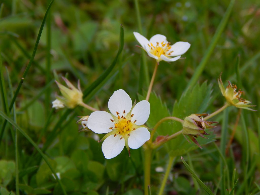 identifying wildflowers wild strawberry blooming in the grass in spring in Northeast