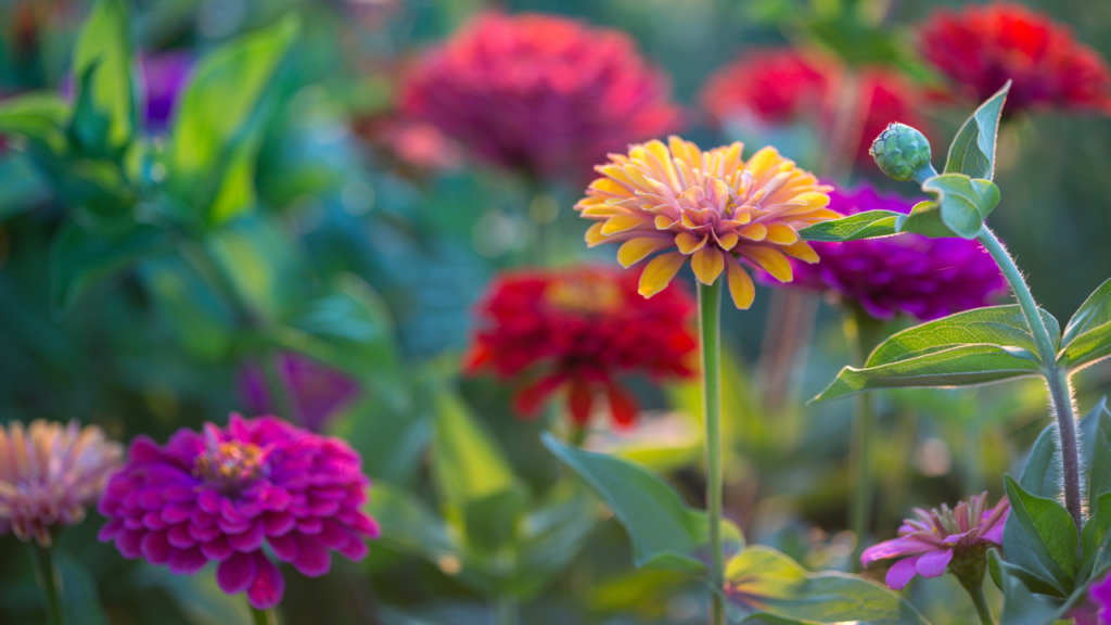 colorful zinnias orange, purple, red, and pink with blurred green foliage