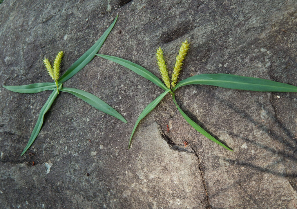 two grass and seedhead butterflies created on a rock outside