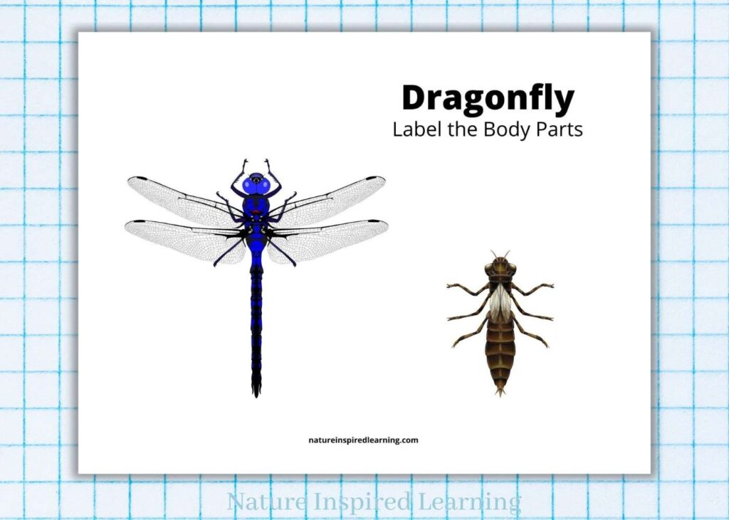 dragon fly image with a dragonfly nymph with text label the body parts on a printable worksheet on light blue graph paper
