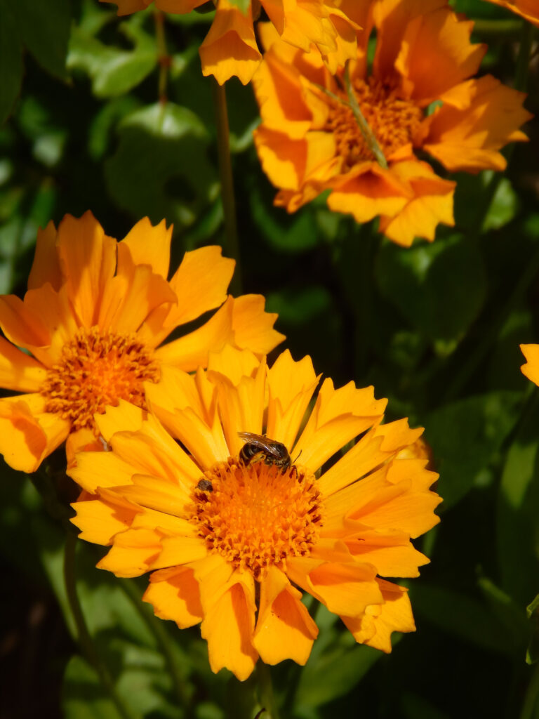 yellow coreopsis with a bee on the flower