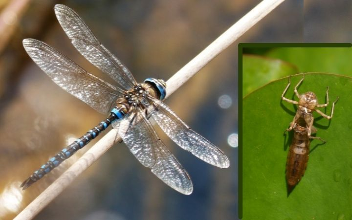 dragonfly adult photograph with photograph of nymph exoskeleton on lily pad