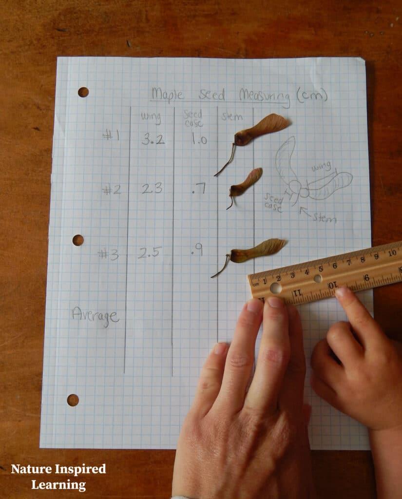 two kids hands on a ruler measuring crimson king maple tree samaras on data table math measuring activity