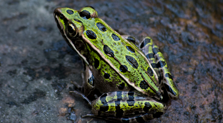 frog with dark green spots perched on a wet rock