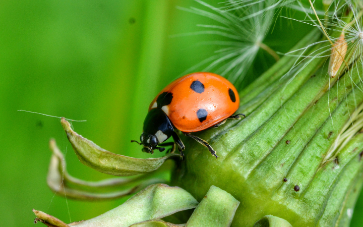 close up of a lady beetle on a dandelion seedhead green background
