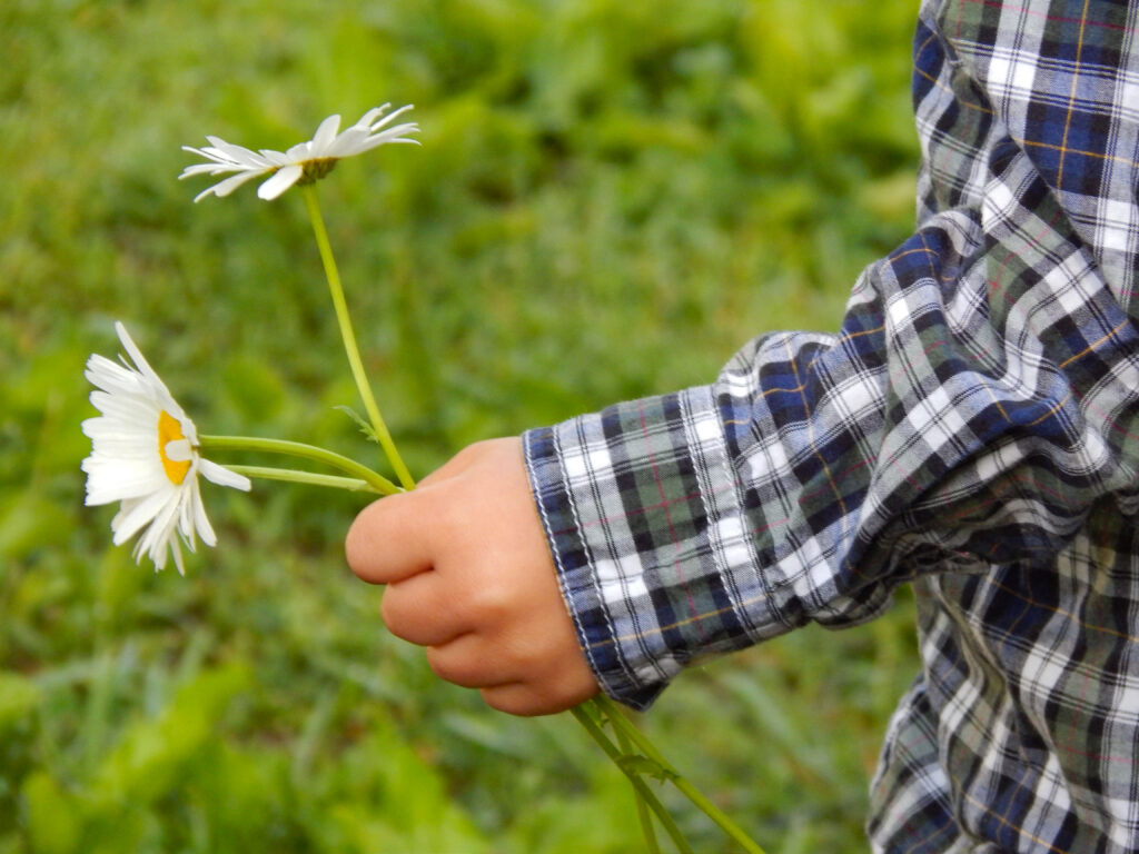 close up of a toddler hand holding ox eye daisies green grass in background plaid shirt
