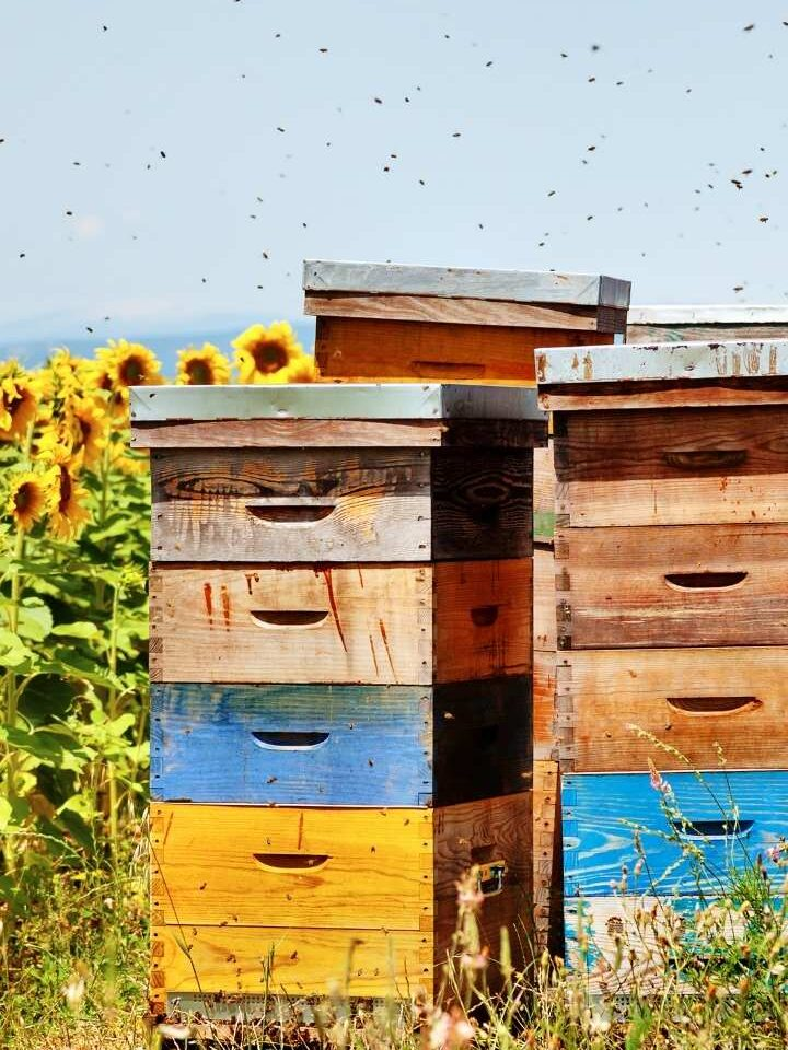 wooden bee hives in a field painted yellow and blue with natural wood next to blooming sunflowers honeybee flying over head