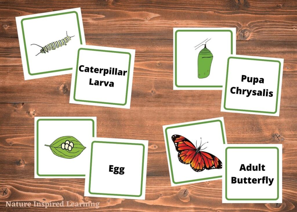 cut up and matched up printable life cycle of a butterfly stage cards on a wooden table