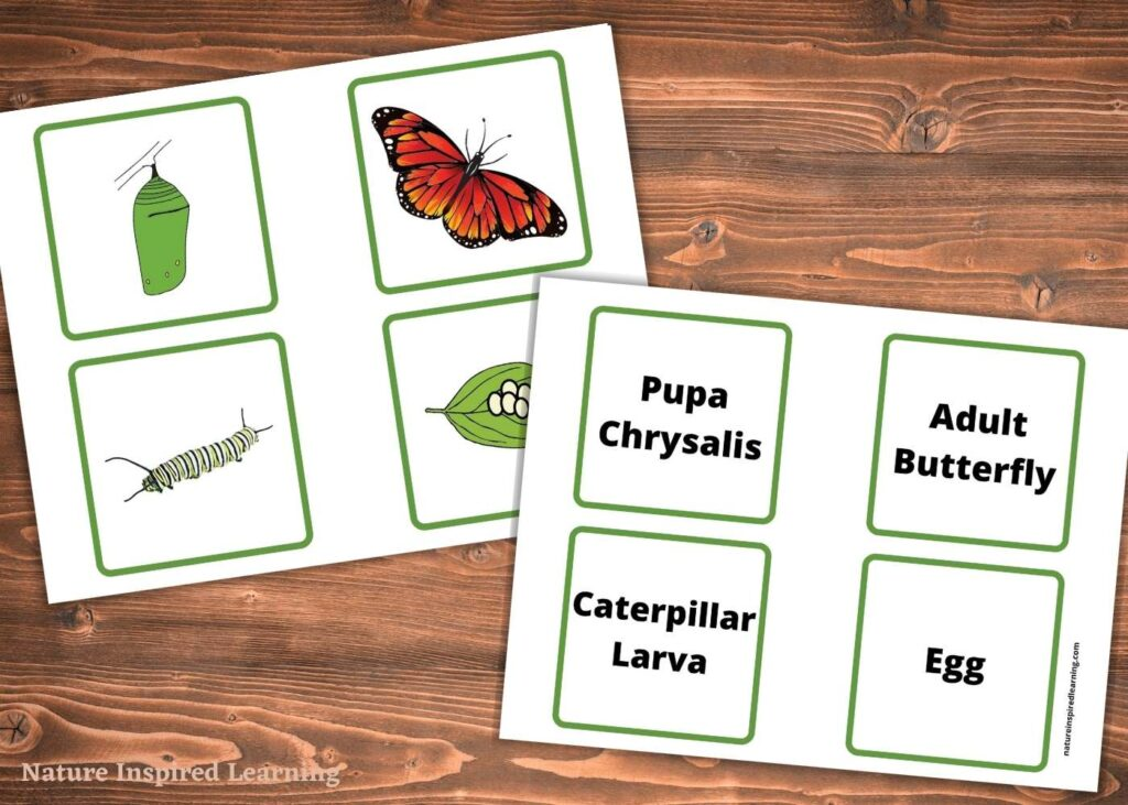 two printable butterfly life cycle stages cards clip art images and text cards on a wooden table