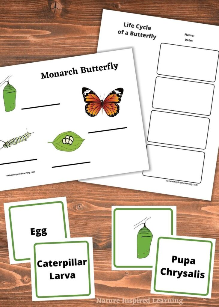 two free printable life cycle of a butterfly worksheets overlapping with stage of butterfly metamorphosis cards on wooden table