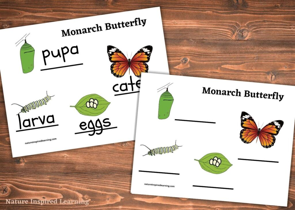 two life cycle of a butterfly worksheets overlapping on a wooden table one filled out with the stages one blank