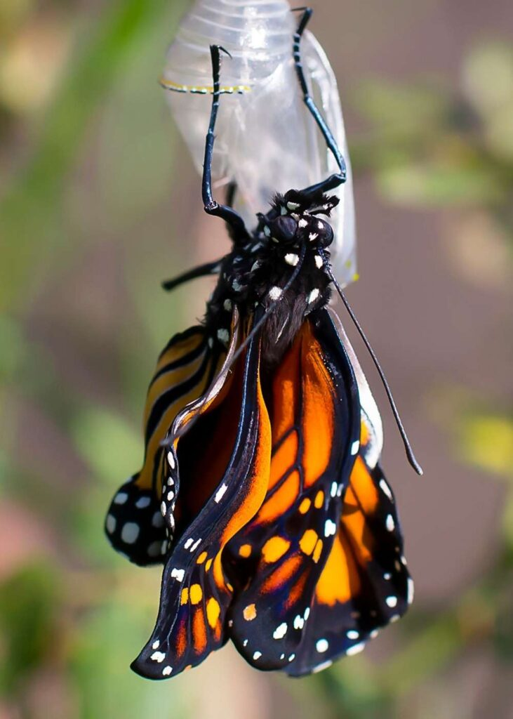 monarch butterfly emerging from chrysalis crinkled wings clear cocoon