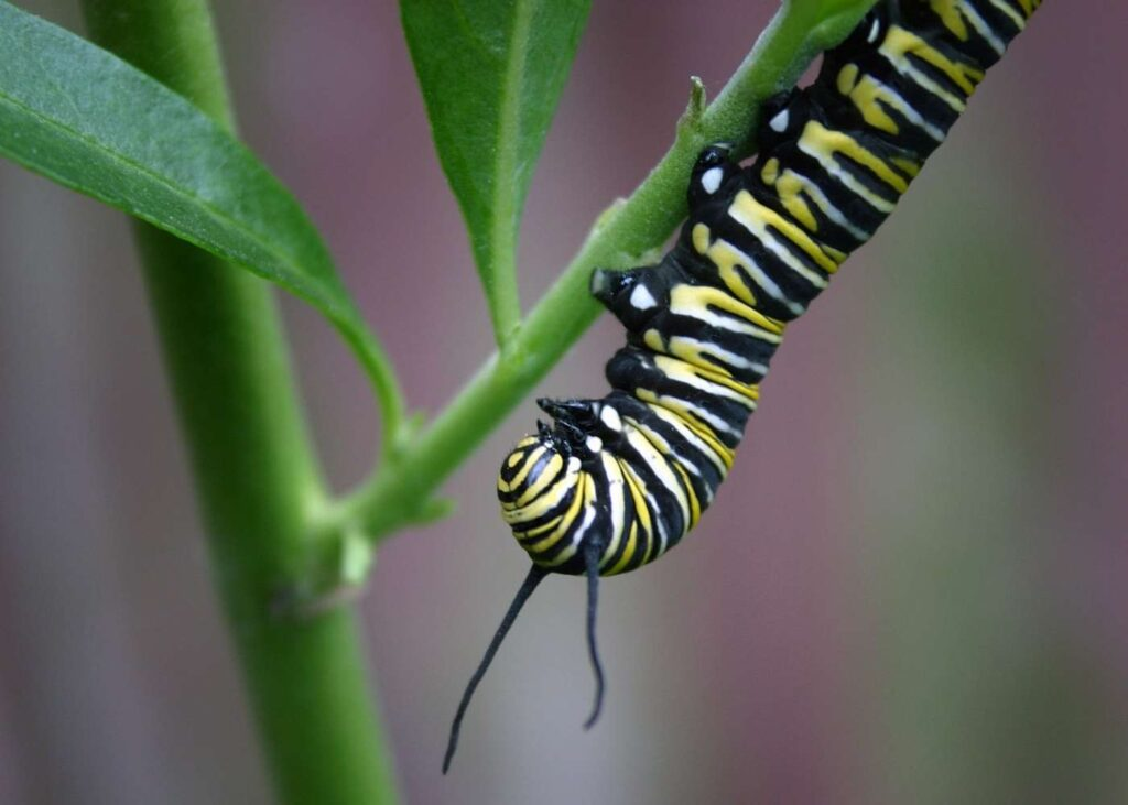 monarch caterpillar upside down on a stem with green leaves