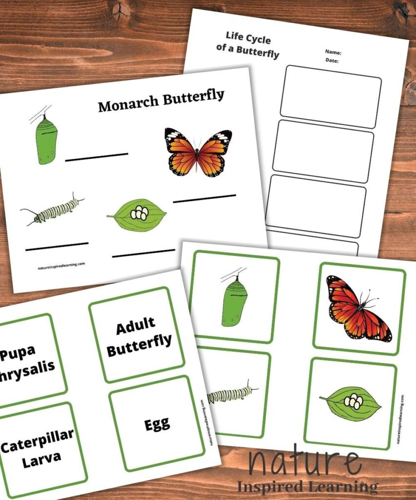 four butterfly lifecycle printables on a wooden table, stages of a life cycle cards text and pictures, lifecycle notes sheet, and monarch butterfly lifecycle diagram