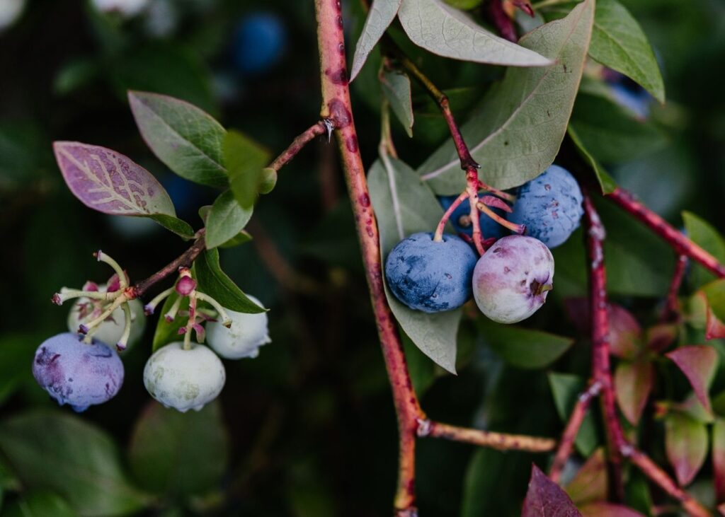 blueberries hanging down on a red colored branch green leaves with red leaves in the background