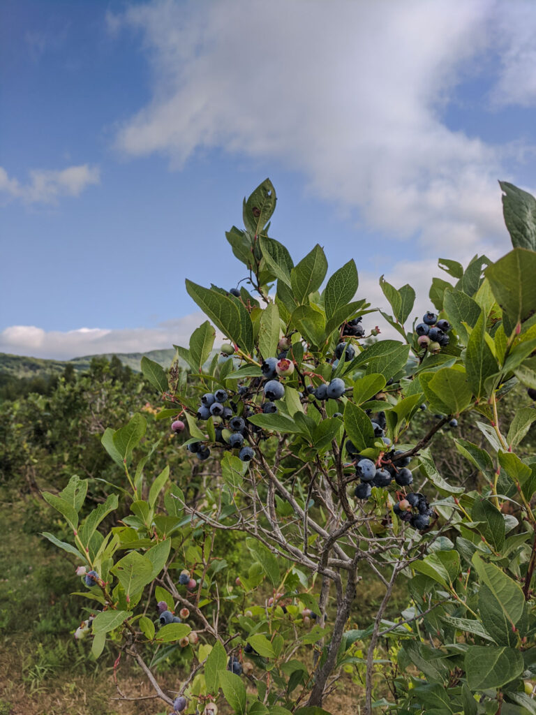 high bush blueberry bush with ripe blueberries in a patch blue sky with a few white clouds