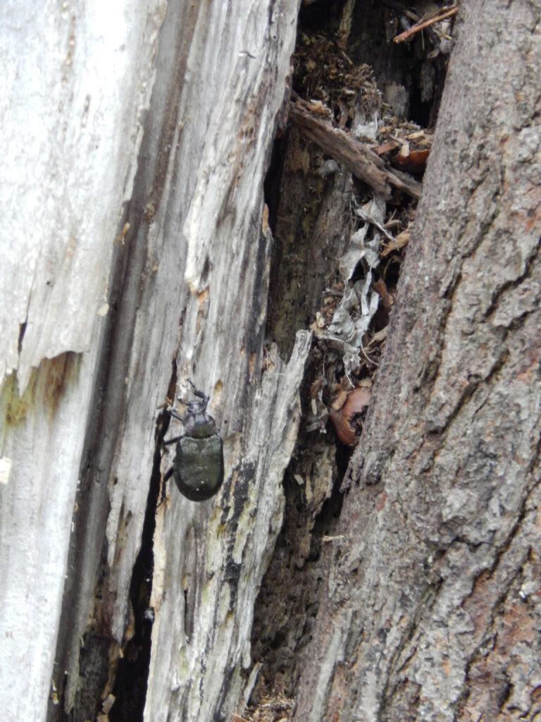 photograph of a large beetle in a rotting tree with broken up acorns and leaves