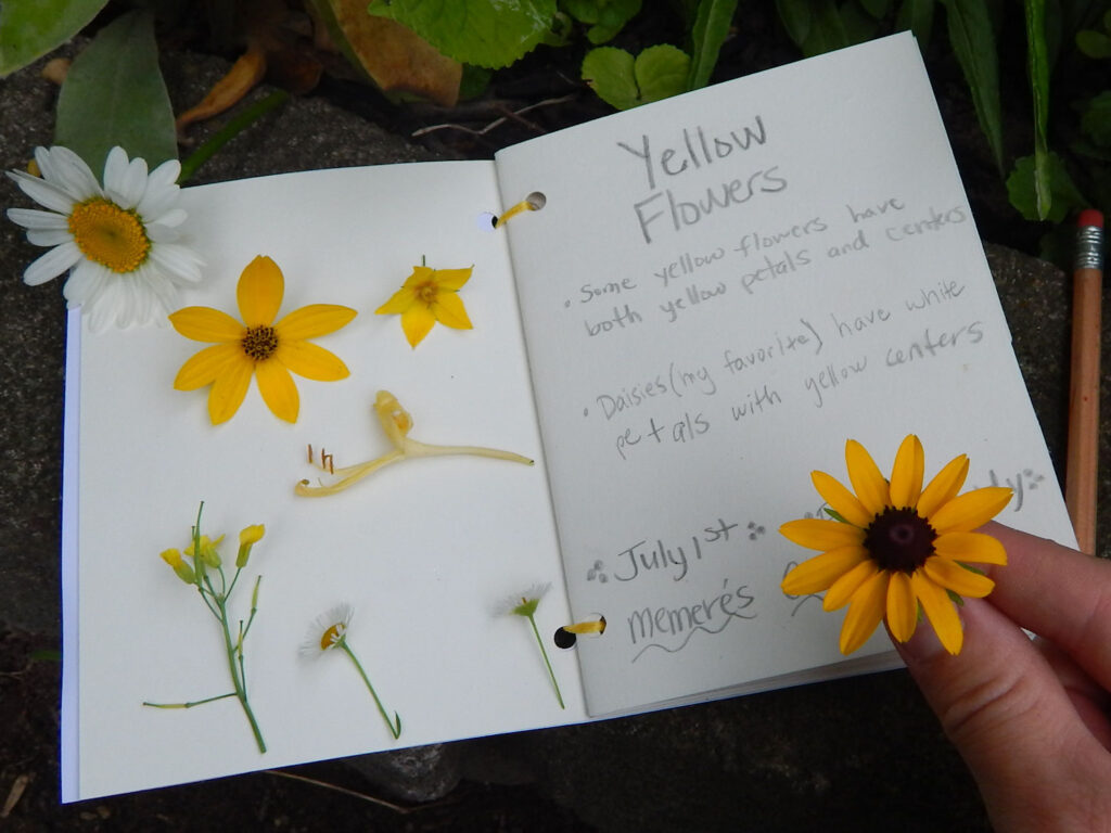 nature journal entry written in pencil about yellow flowers with actual examples of yellow flowers on the page picked from the garden