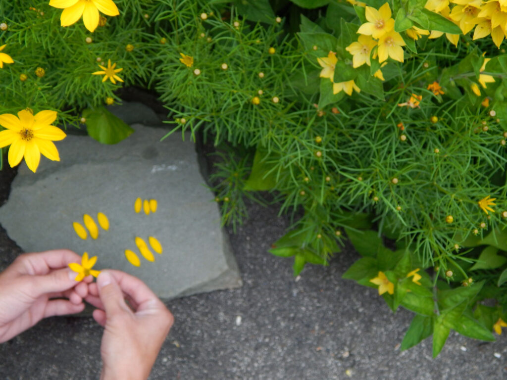 hand holding a yellow flower picking off petals arranging petals on a rock to make bee stripes yellow flowers in the garden above