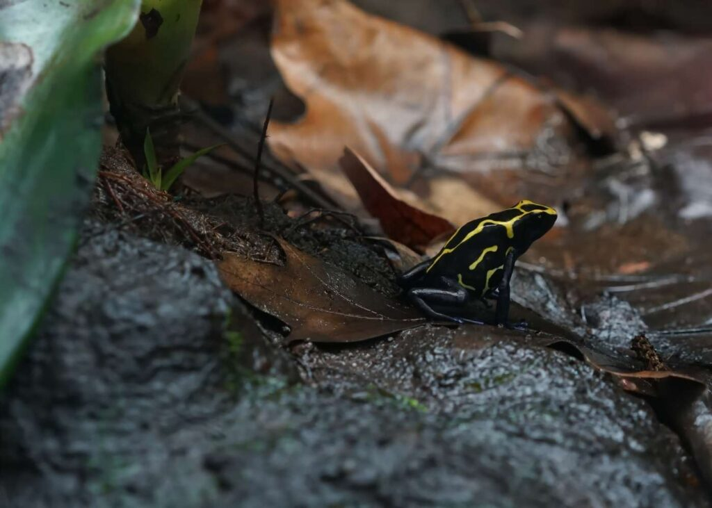 small black and bright yellow poison dart frg on a brown leaf and wet rock